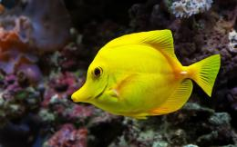 Aquarium Fish Yellow Tang Fish Wallpaper Animals Library 331