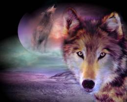 wolf and the moonWolves 3 Wallpaper 554
