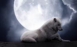 White wolf full moon Wallpapers Pictures Photos Images 1091