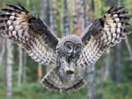 Owl In Flight Forest Wallpaper 1600×1200Birds Wallpapers 1785