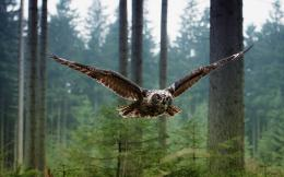 Owl flying forest Wallpapers Pictures Photos Images 1642