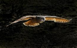 Flying owl HD Wallpaper 1920x1080 Flying owl HD Wallpaper 1920x1200 355