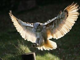Flying Animal: The Great Horned Owl 1578