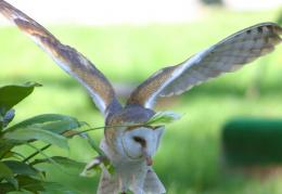 Barn Owl In FlightHD Wallpaper, get it now! 1791