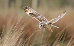 bird owl flying hd wallpaper View field bird owl flying hd wallpaper 267