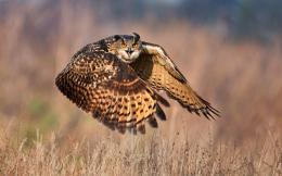 Owl Flight FieldHD Wallpaper, get it now! 955
