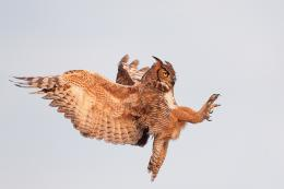 This is the Great Horned Owl in Flight background imageYou can use 1592