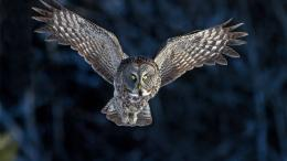 Flying Owl, Flying Owl wallpaper 1215