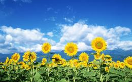 Sunflowers will clean up radiation leaked from power plant  Cali 551