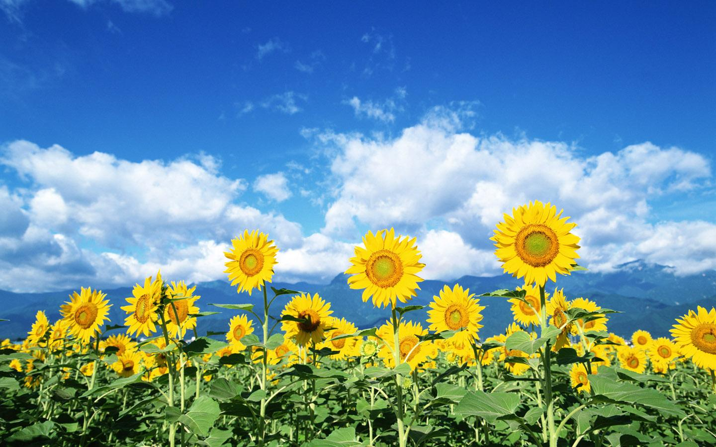 Sunflowers will clean up radiation leaked from power plant| Cali 551