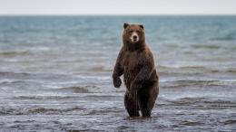 bear, bear, animal, wildlife, predator, stand, water, sea wallpaper 228