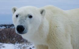 Polar bear Widescreen Wallpaper#9662 1477