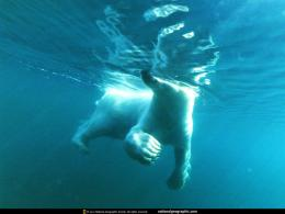 Polar Bear Swimming Underwater 1085