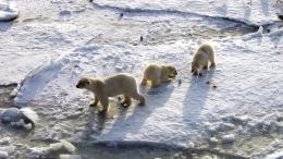 Polar bears Widescreen Wallpaper#9663 1310