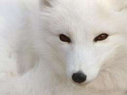 Polar Silver Fox, arctic, fox, ice, polar, pretty, sliver, snow, white 1852