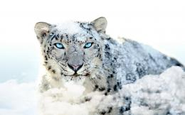 Wallpaper a day: white leopard in the snow blue eyes wallpaper 1955
