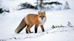Pretty Fox In The Snowid: 146553 1613