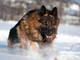 See more Famous German Shepherd dog running in snow 1913