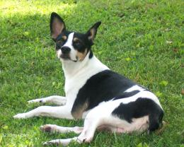 rat terrier wallpaper 541