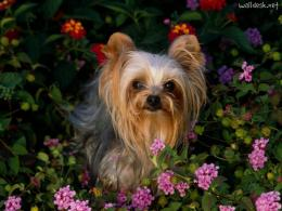 Related Wallpapers Cachorros Yorkshire Terrier Yorkies Yorky 1639
