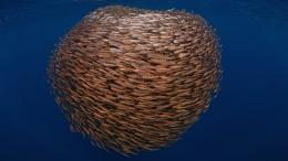 Large school of fish wallpapers and imageswallpapers, pictures 1176