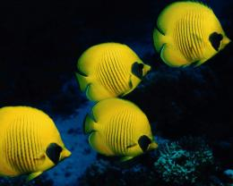 Tags: School of yellow fish 1600x1280 wallpaper1600X1280 wallpaper 1530