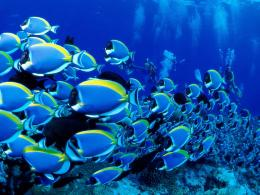 Blue Tang Fish School With Divers Wallpaper 1280×960Fish Wallpaper 1910