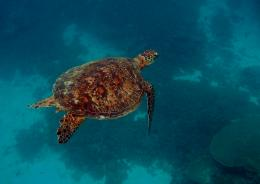 Sea Turtle vs Tiger SharkPicArena Image MatchGreen Sea Turtle 1419