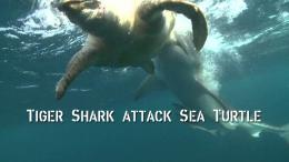 TIGER shark ATTACKS sea turtleYouTube 882