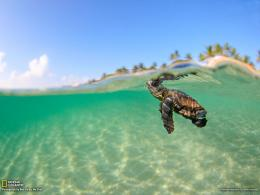 Sea Turtle PictureAnimal WallpaperNational Geographic Photo of 1796