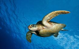 Sea turtle wallpaper #12946 331