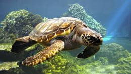 Sea turtle wallpaper 553