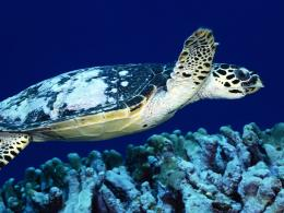 sea turtle wallpaper 1690
