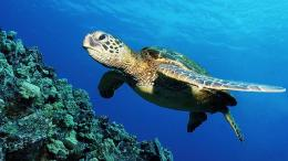 Green Sea Turtle Wallpaper 1745