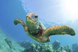Sea Turtle Green – 03 – Wallpaper – 1600 x 1066 Wallpaper 258