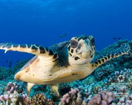 Hawksbill Sea Turtles Wallpapers3905Animal |bwalles com Gallery 1746