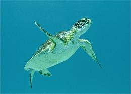Download Young Sea Turtle wallpaper 1836