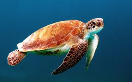 Animals Backgrounds In High Quality: Sea Turtles by Naomi Kelly 1356