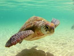 Wallpapers ⇒ Animals ⇒ Sea Turtle Wallpaper 1568