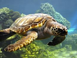 Sea turtle wallpaper 439
