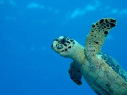 Sea Turtle Wallpapers,Turtle Wallpapers & Pictures Free Download 1587