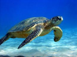 Sea Turtle HD Wallpaper 154