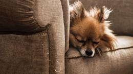 Download Dog sleeping with armchair wallpaper in Animals wallpapers 1263