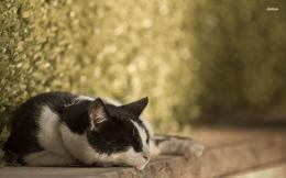 cat sleeping wallpaper 1280x800 Black and white cat sleeping wallpaper 1344