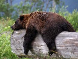 Sleeping Grizzly Bear Animal Slepping hd wallpaper #1651365 929