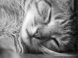 Cat sleeping in black and white : Desktop and mobile wallpaper 1807