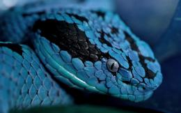 Close up photo of a blue snake | HD snakes wallpapers 237