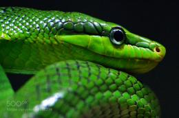Photograph Green Snakeclose upby Ryan Cash on 500px 1479