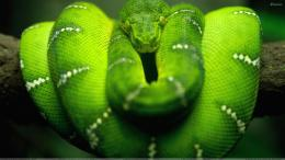 Green Snake Closeup Wallpaper 897