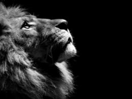 black lion hd wallpapers black lion hd wallpapers black lion 249